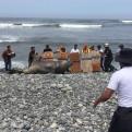 Miraflores: elefante marino varó por varias horas en la playa Makaha