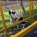 Lima: hallan a vaca abandonada en la avenida Canadá