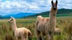 Arequipa: trasladan a camélidos debido a la llegada de cenizas del Sabancaya - Noticias de provincia de caylloma
