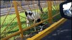 Lima: hallan a vaca abandonada en la avenida Canadá - Noticias de alerta noticias