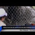 Cajamarca: rescatan a oso de anteojos que se encontraba en una vivienda