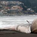 Ballena varada con gran protuberancia sorprende en costas de Chile