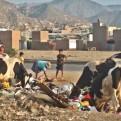 Carabayllo: vacas se alimentan con basura de la vía pública