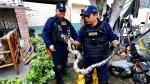 Cercado de Lima: hallan boa de más de 2 metros en la azotea de una casa - Noticias de cercado de lima